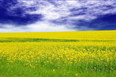 Green field with yellow flowers — Stock Photo