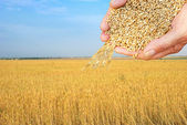 Wheat field and falling grain in arms — Stock Photo