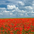 Poppy meadow landscape — Stock Photo
