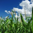 Corn field over cloudy blue sky — Stock Photo #1738000