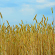 Wheat field over cloudy blue sky — Stock Photo