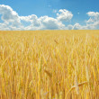 Wheat field over cloudy blue sky - Stock Photo