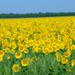 Sunflower field over cloudy blue sky — Stock Photo #1761901