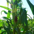 Stock Photo: Corn over sunbeams