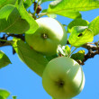 Apples on tree brunch — Stock Photo #1762052