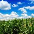 Corn field over cloudy blue sky - Stockfoto