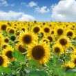 Sunflower field over cloudy blue sky — Stock Photo #1762737
