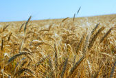 Wheat field over clear blue sky — Stock Photo