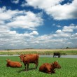 Cows on meadow — Stock Photo