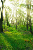Sunbeams in spring forest — Стоковое фото