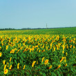 Sunflower field over clear blue sky — Stock Photo