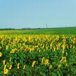 Sunflower field over clear blue sky — Stock Photo #1930339