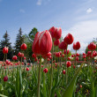 Stock Photo: Red tulips and blue sky