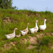 Stock Photo: Goose on green grass background 1