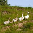 Goose on green grass background 1 - Stock Photo