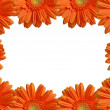 Stock Photo: Isolated orange gerbers frame xxl