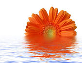 Orange gerber at water surface — Stock Photo