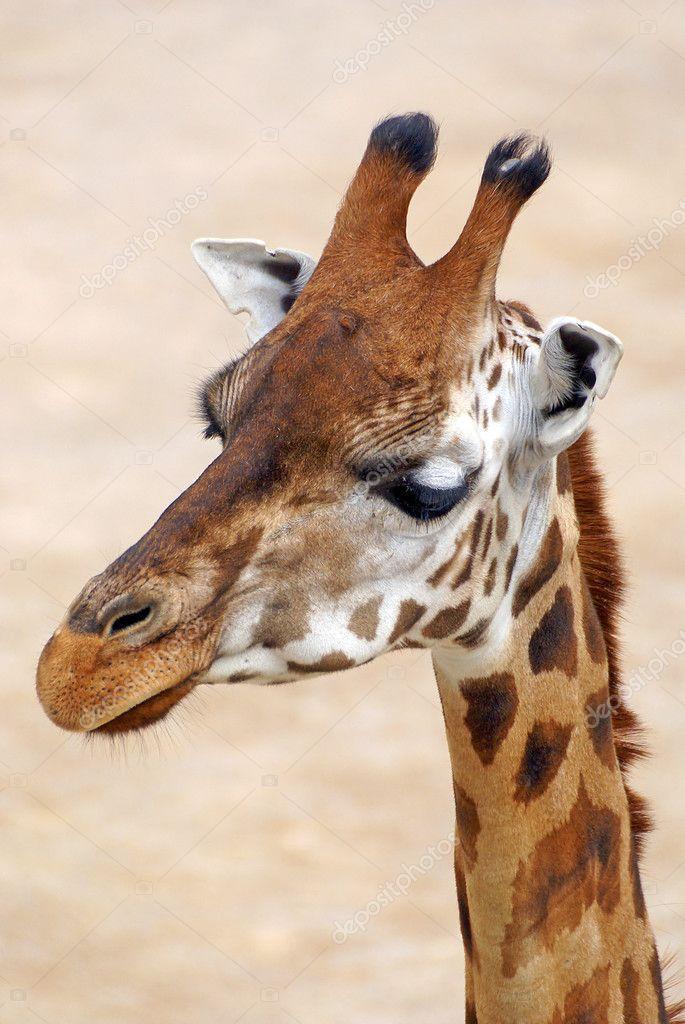 布拉格动物园里的长颈鹿