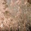 Stock Photo: White birches in snow