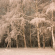 White birches in snow — Stock Photo #1665322