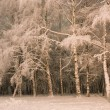 White birches in snow — Stock Photo