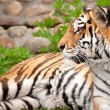 Royalty-Free Stock Photo: Siberian tiger