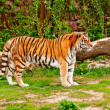 Siberitiger — Stock Photo #1607792