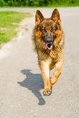 Sheep-dog runs towards — Stock Photo