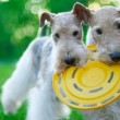 Fox terrier — Stock Photo