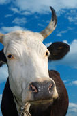 Muzzle of a cow against the sky — Stock Photo