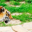 The tiger leaves on hunting - Stock Photo