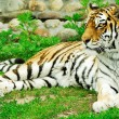Laying tiger - Stock Photo
