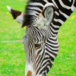 The zebra smells a flower - Stock Photo
