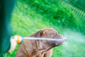 The dog drinks water — Stock Photo