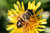 Bee — Stock Photo