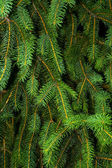 Pine Tree Background — Stock Photo