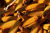 Corncob — Stock Photo