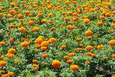 Field Of Orange Flower — Stock Photo