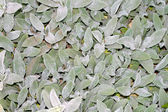 Hairy Leaves — Stock Photo