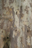 Sycamore Tree Surface — Stock Photo