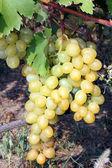 Grape on the vine — Stock Photo