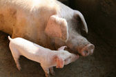 Pig And Sow — Stock Photo