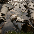Birches in water — Stock Photo