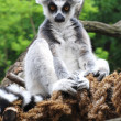 Lemur monkey — Stock Photo #1736515