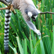 Stock Photo: Lemur monkey