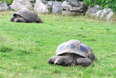 Big overland turtles on a grass — Stock Photo