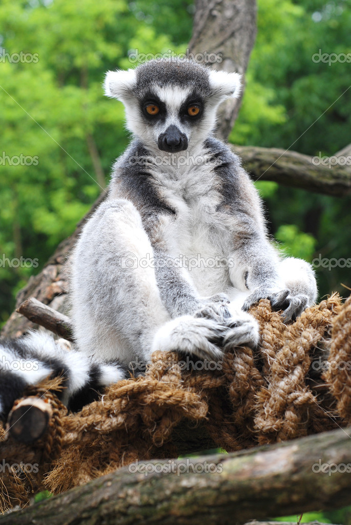 Sitting lemur monkey   Stock Photo #1736515