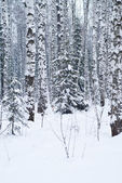 Beautiful winter forest landscape — Stock Photo
