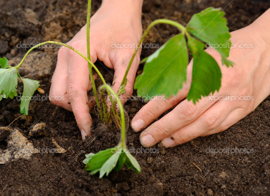 Woman hands carefully planting strawberry plant into soil  Stock Photo #1711074