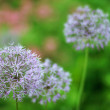 Stock Photo: Allium flowers